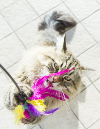 siberian breed of cat, playing with a feather Stock Photo - 70431574