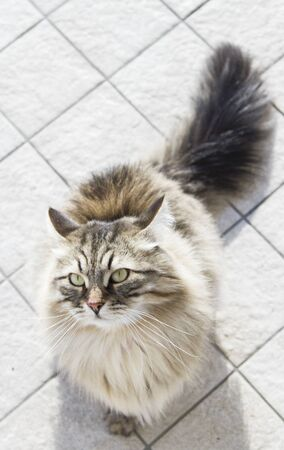 brown Siberian breed of cat, looking up Stock Photo
