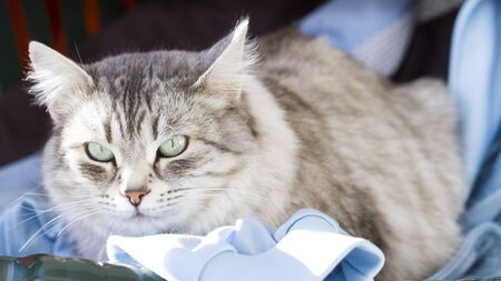 female cat of siberian breed, silver version