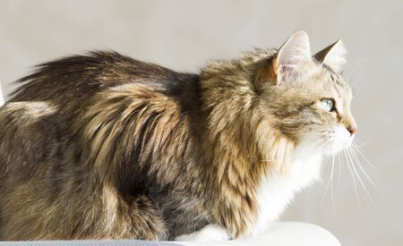Brown white siberian cat at the sun