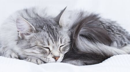 beuatiful silver feline on the sofa, siberian breed