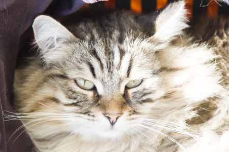 foreground of siberian cat, brown tabby