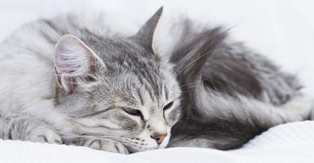 beuatiful silver feline on the sofa, siberian breed