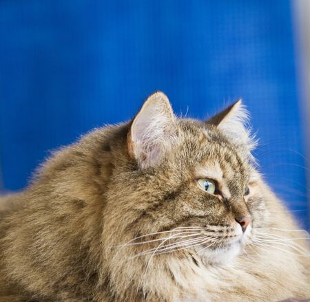 furry brown mackerel cat in the house Stock Photo