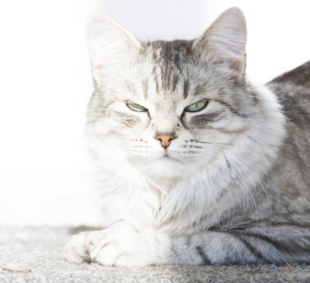 grey cat of siberian breed, female adult Stock Photo