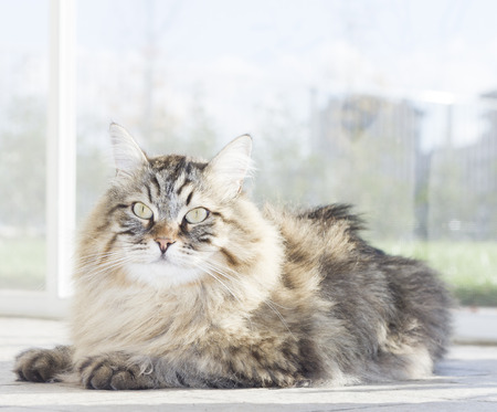 beauty male of siberian cat in the garden, brown version Stock Photo