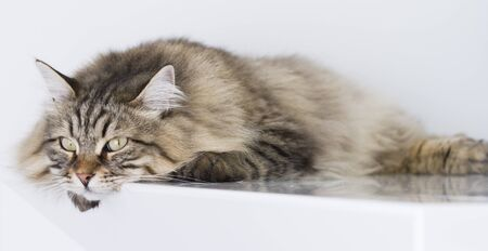 cat lying at home, brown siberian breed