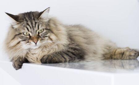 eye ball: cat lying at home, brown siberian breed