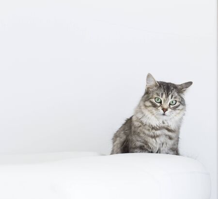 female kitten of siberian breed in the house, relax on the sofa Stock Photo