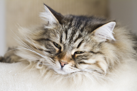 cat lying on the scratching post, brown tabby siberian breed