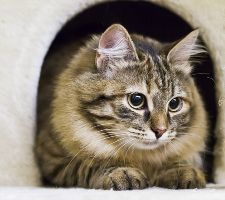 siberian cat, brown white version Stock Photo