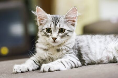 puppy cat of siberian breed, silver version