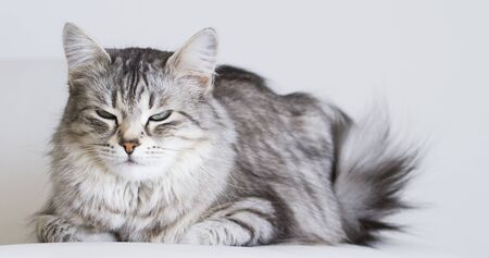 cat lying on the sofa, silver siberian breed