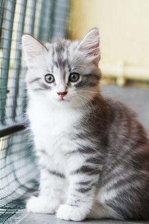 silver kitten of siberian breed in the house