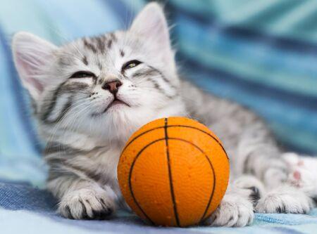 eye ball: silver kitten of siberian breed in the house