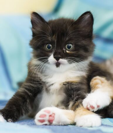black and white kitten of siberian breed in the house