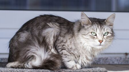 adorable silver cat of siberian breed