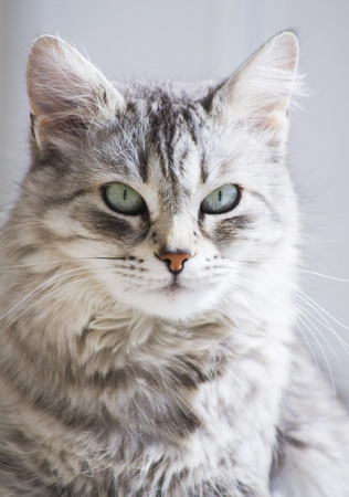 grey cat: adorable female cat, grey siberian breed