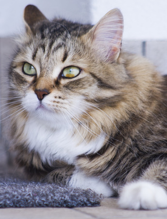 adorable female cat, brown white color siberian breed
