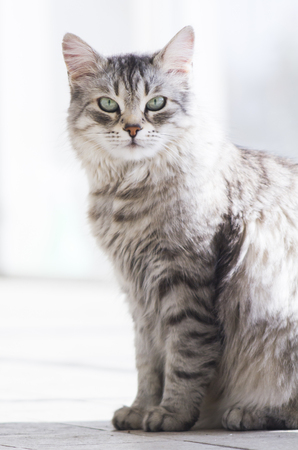 grey haired: adorable female cat, grey siberian breed