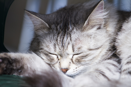 adorable female cat, grey siberian breed