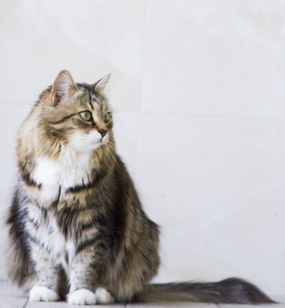 brown white tabby siberian cat outdoor