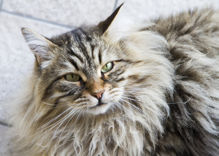 brown tabby siberian cat outdoor