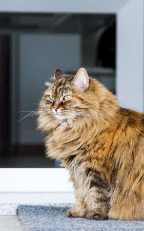 brown mackerel siberian cat outdoor