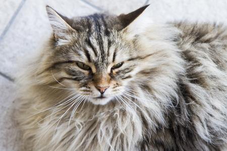 brown tabby siberian cat outdoor