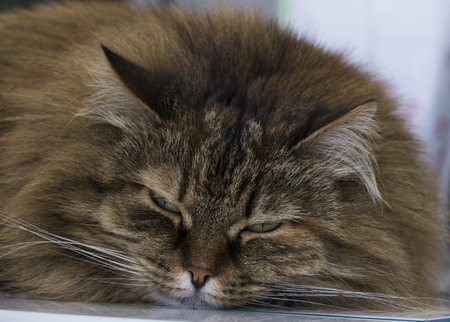 Sweet siberian cat in relax, brown tabby