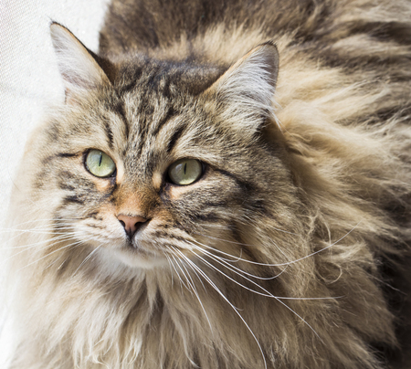 razas de personas: Beauty brown tabby long haired cat, Siberian purebred Foto de archivo