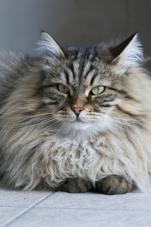 Gorgeous cat, siberian male purebred
