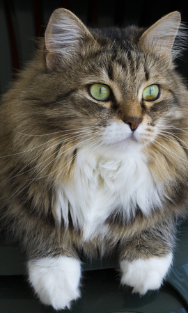 Beautiful cat with green eyes and brown hair, siberian