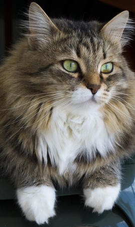 Female cat with long hair, siberian