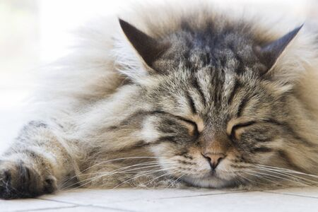 Long haired cat, siberian breed of cat