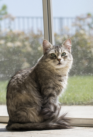Silver female cat at the window, Siberian