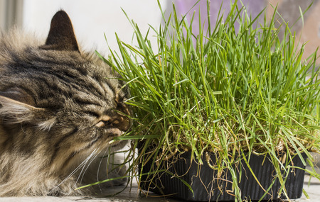 Cat eating grass green, siberian purebred male