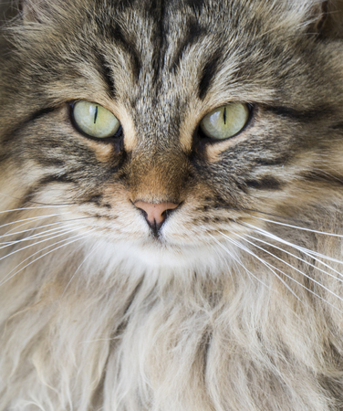 Long-haired cat face, brown tabby siberian male Stock Photo