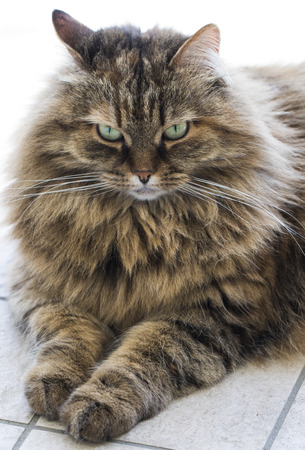 Brown cat mackerel with long hair, siberian Stock Photo