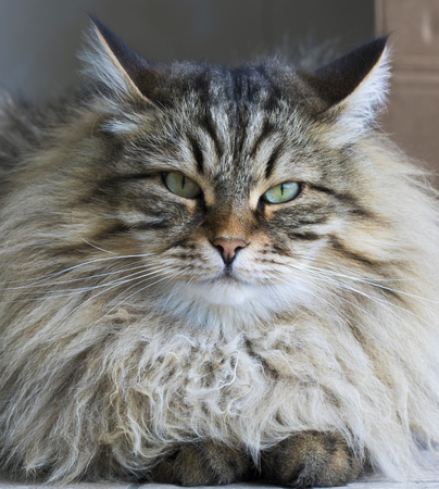 Male cat with long hair, siberian male