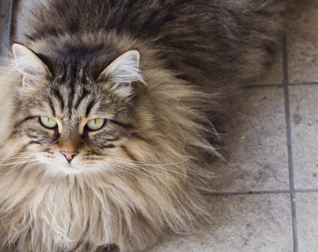 Long haired cat, brown tabby mackerel