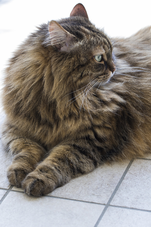 Cute furry cat of siberian breed, brown mackerel