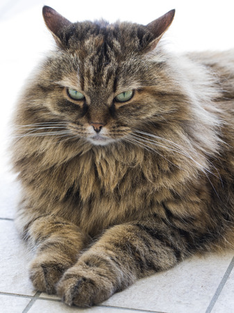 Brown tabby mackerel female cat of siberian breed Stock Photo