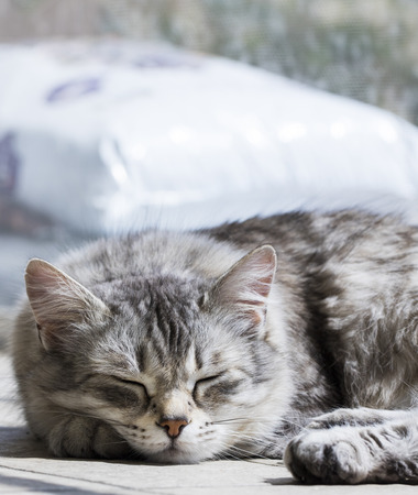 Silver tabby female cat of Siberian breed