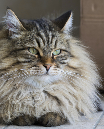 Brown tabby male cat of siberian breed Stock Photo
