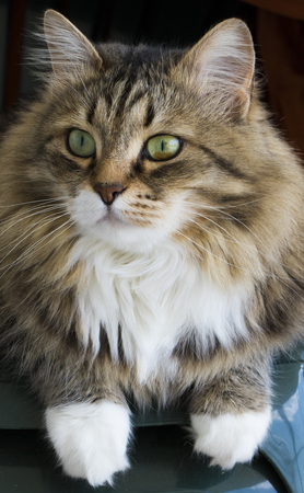 Brown tabby and white female cat of siberian breed Stock Photo