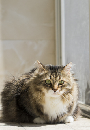 Brown tabby and white kitten of Siberian breed