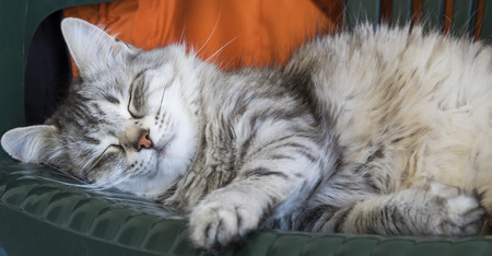 long nose: Long haired cat, siberian breed of cat