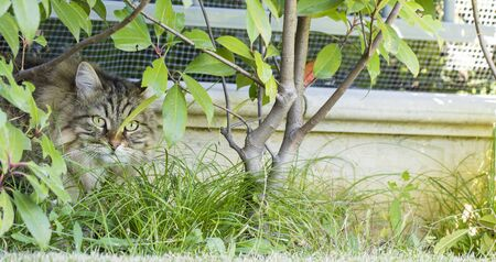Brown tabby male cat of Siberian breed in the garden Stock Photo