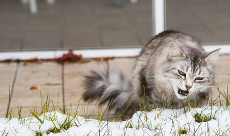 Cute long haired cat of siberian breed in the garden in winter time